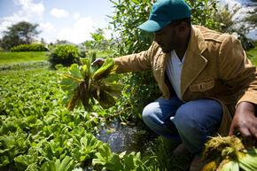 Stephen Musyoka picking up a cabbage