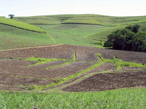 Sugarcane, South Africa