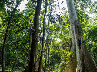 A honey farmer climbs a huge tree in the middle of a lush forest