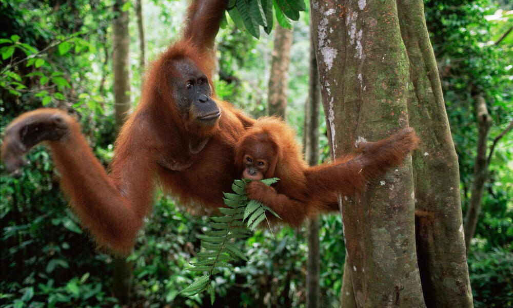 Sumatran Orangutan mother and baby