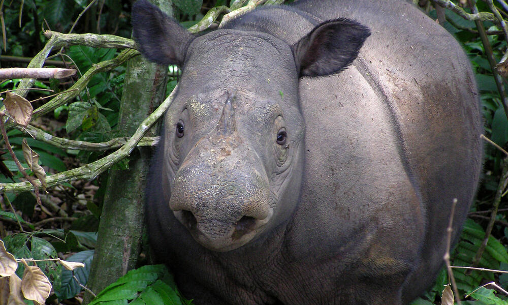 Sumatran rhinoceros, Lampung, Indonesia