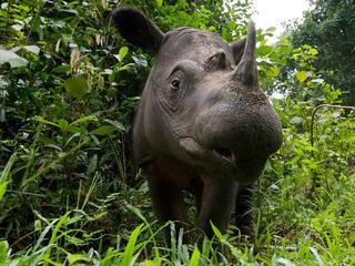 Head portrait of a Sumatran rhino