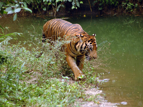 A large Sumatran tiger walks along a green stream in the forest