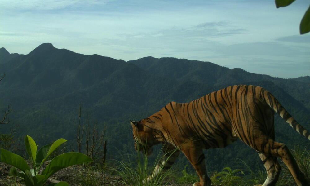 Sumatran tiger camera trap 4