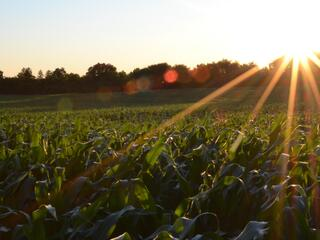 sunrise over a corn field