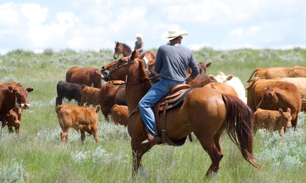 Rancher on horseback herds cattle through grassland
