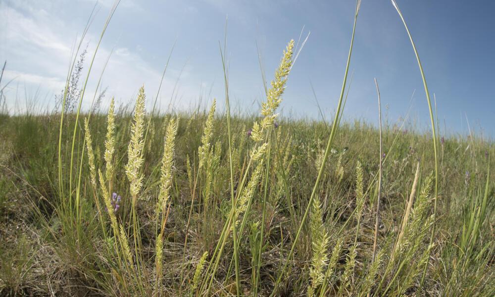 Prairie Junegrass (Koeleria macrantha), Lowry, South Dakota