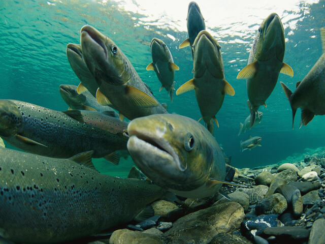 Atlantic Salmon in Canada
