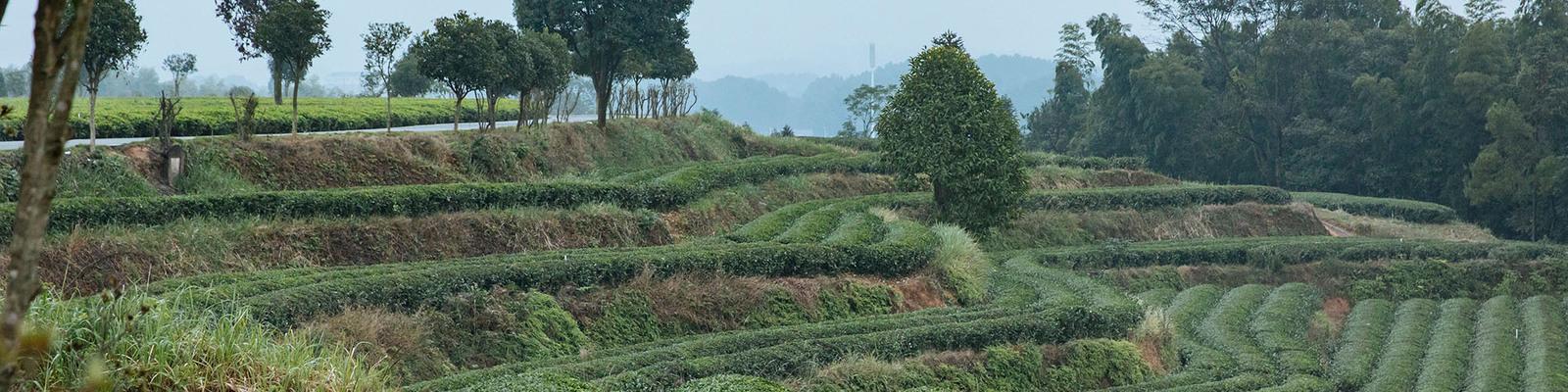 A stepped field of tea