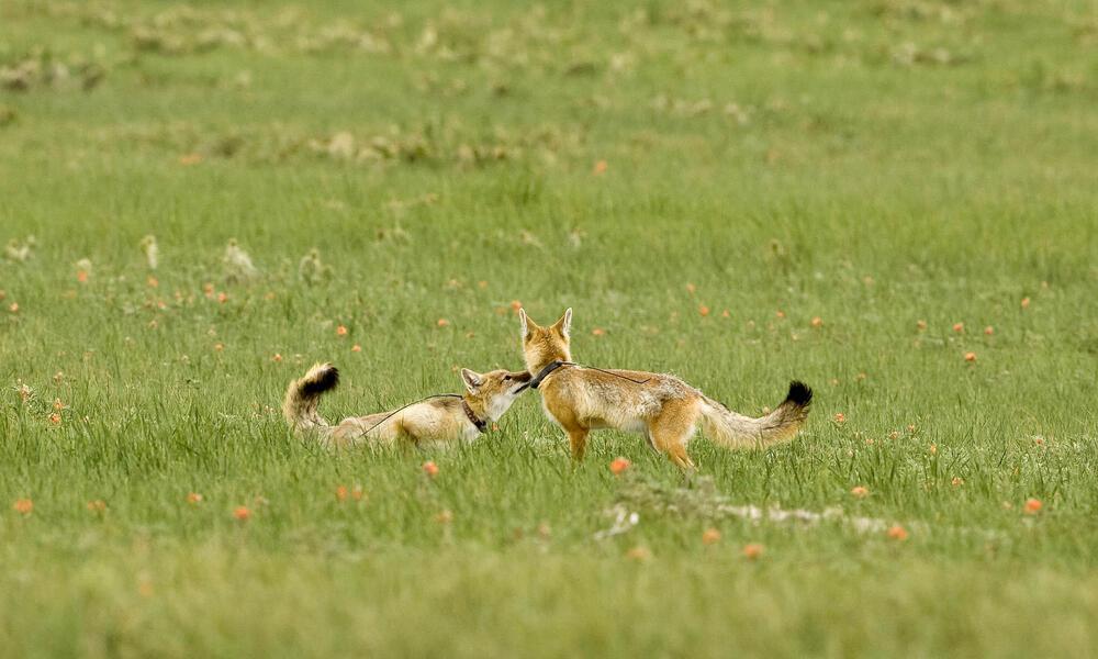 Swift fox pup pair