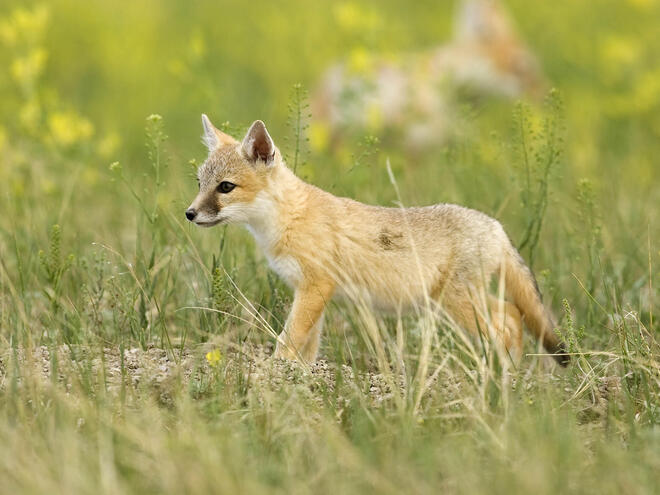 Swift fox pup