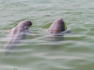 Swimming finless porpoises