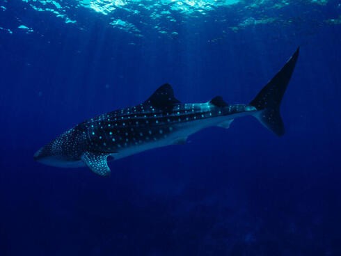 Whale shark swimming Indo-Pacific Ocean