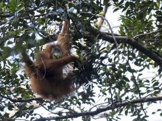 Tapanuli orangutan