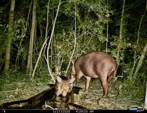 A tapir visits an artificial watering hole at night