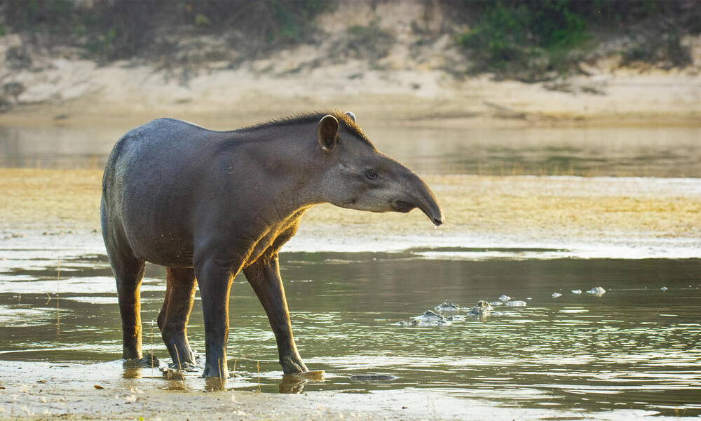 A South African Tapir stands in ankle deep water and looks towards the left.