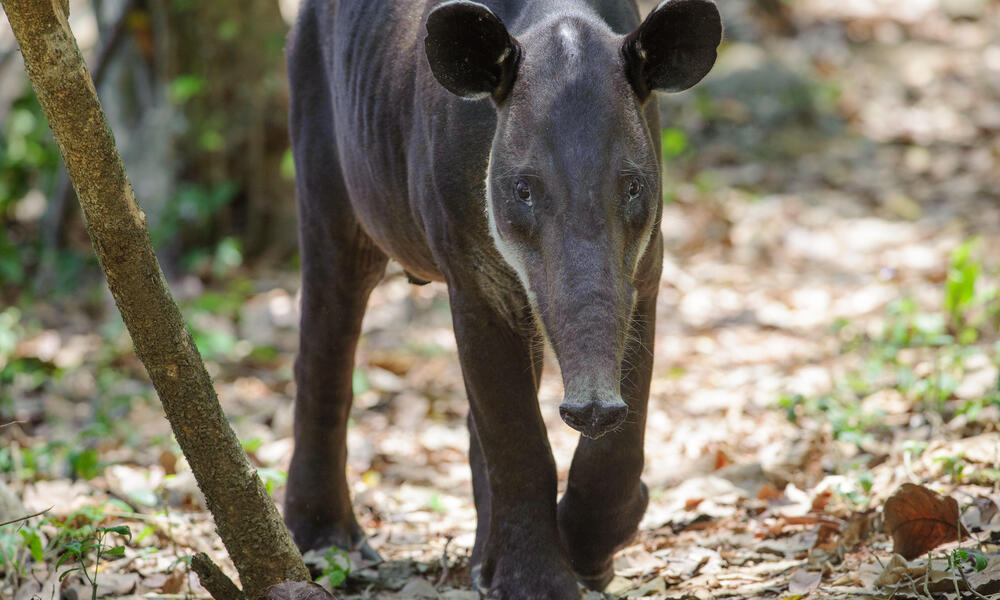 A tapir walks on dead leaves through the forest