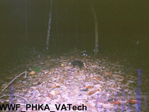 Malay badger