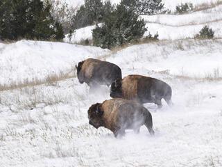 bison release