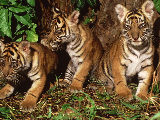 Portrait of three tiger cubs