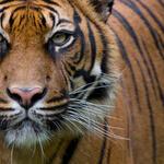 Tiger looking out at camera