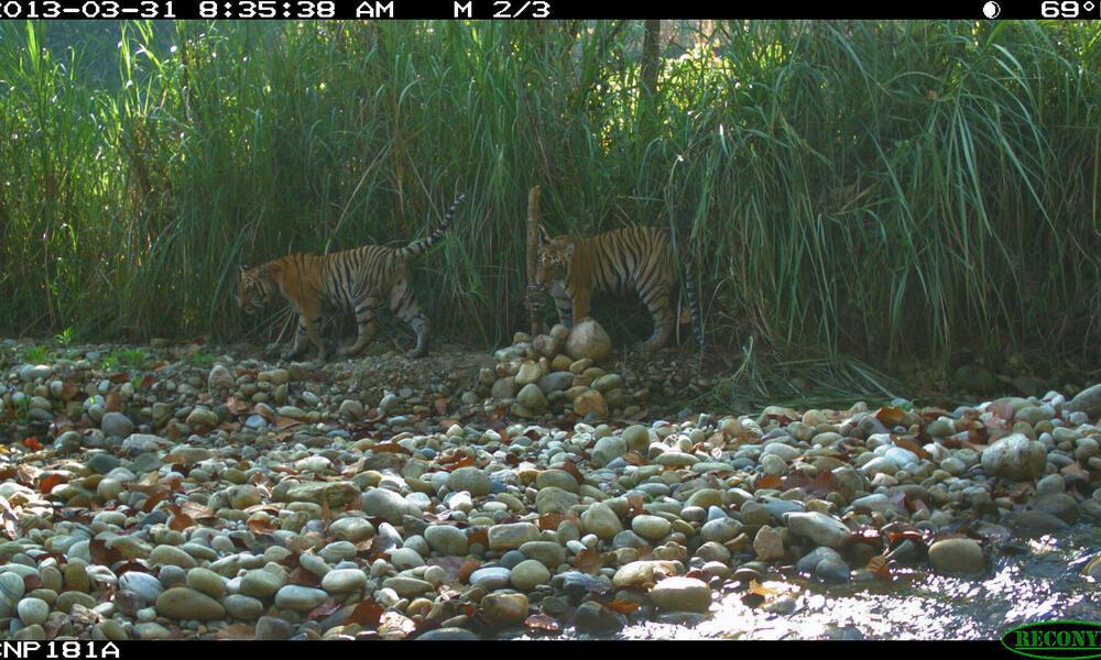 tiger cubs camera trap