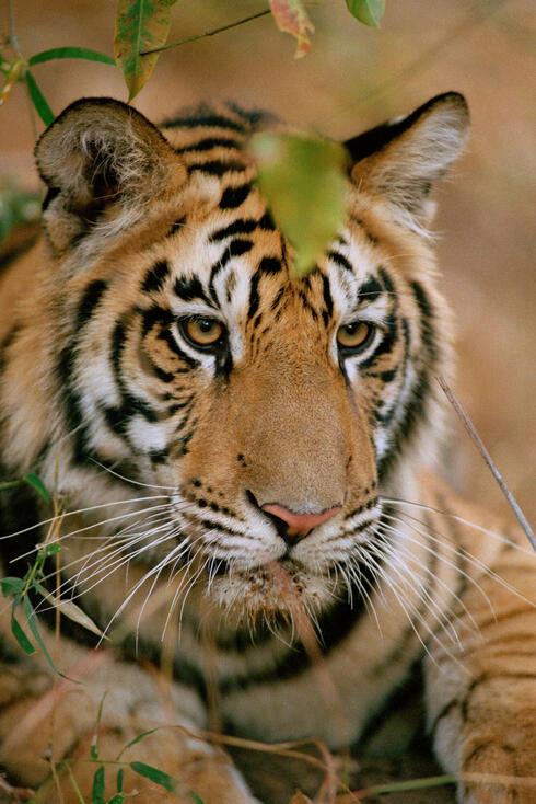 Tiger (Panthera tigris), Bandhavgarh National Park, India.