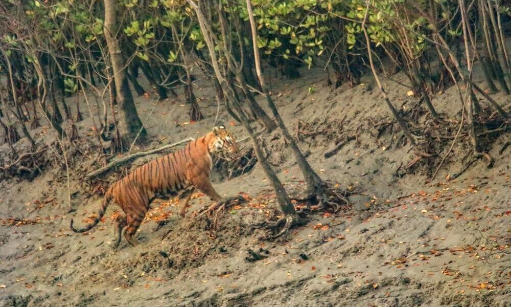 A tiger walks up an embankment into trees