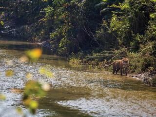Tiger walking along river shore