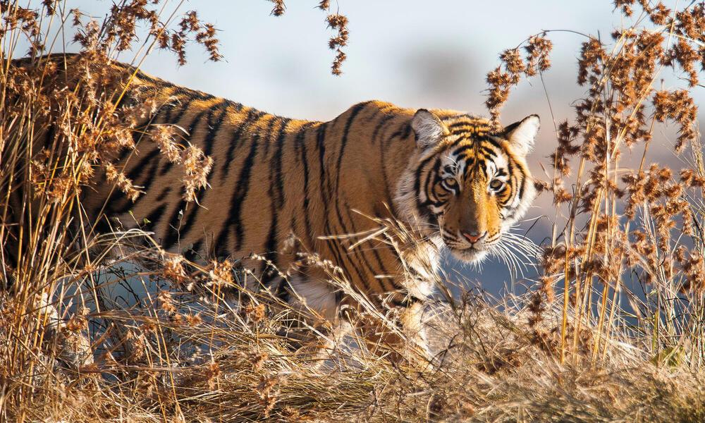 Tiger walking in tall grass