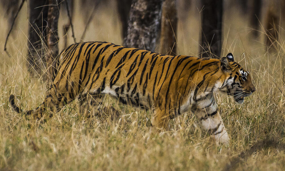 tiger walking through grass