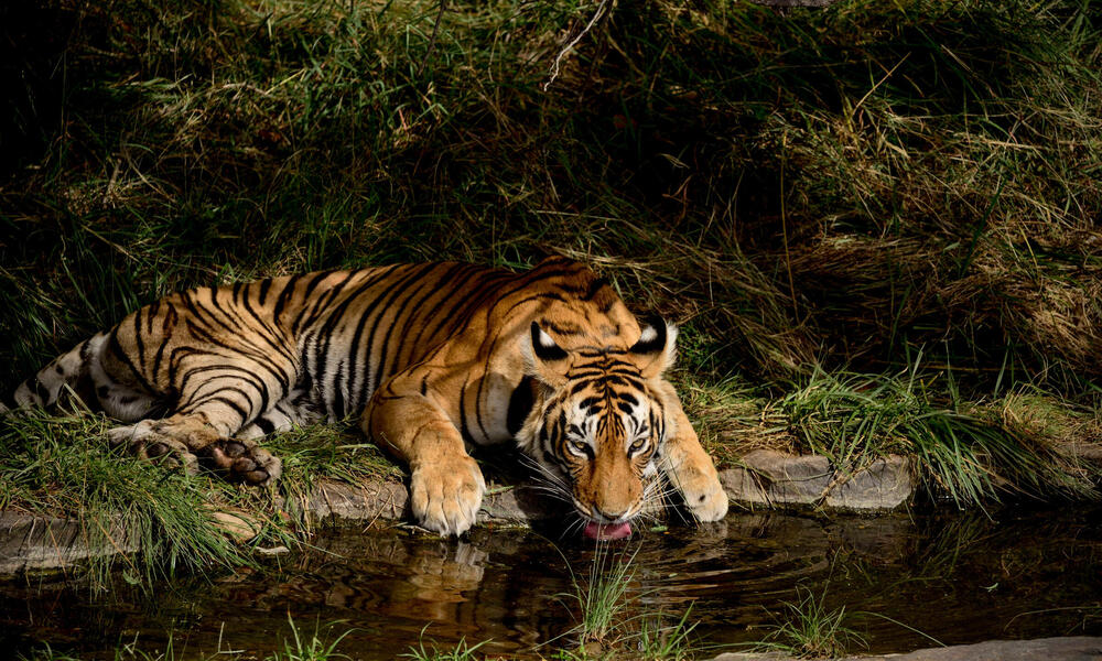 Tiger drinking from water source