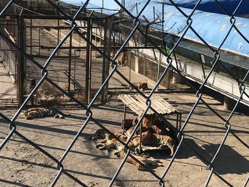 tiger farm