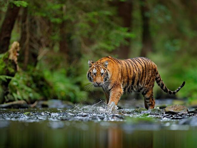Tiger walks through river in Russia