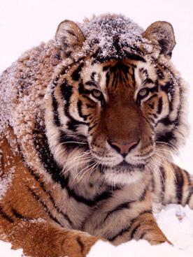 Amur tiger in snow