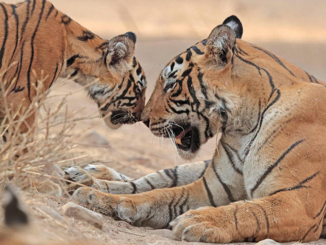 Bengal tiger mother and cub