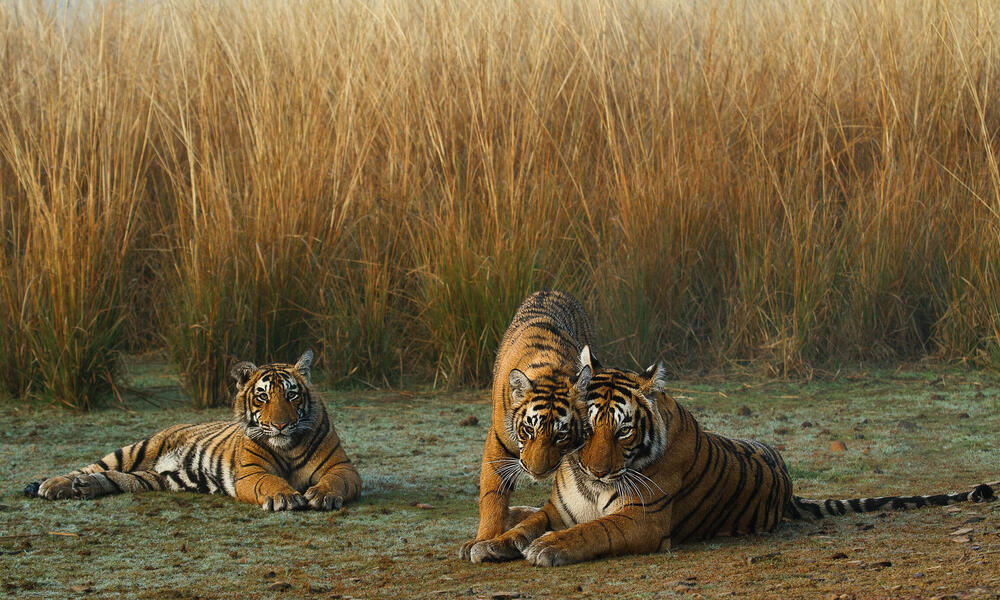 Tiger mother and cubs near tall grass