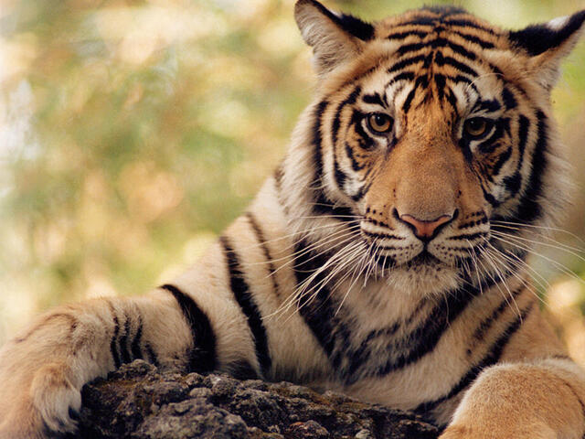 Tiger with front paws on log