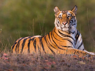 Tiger resting on the ground