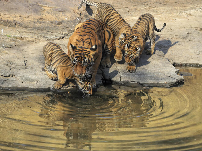 Tiger and three cubs get a drink of water