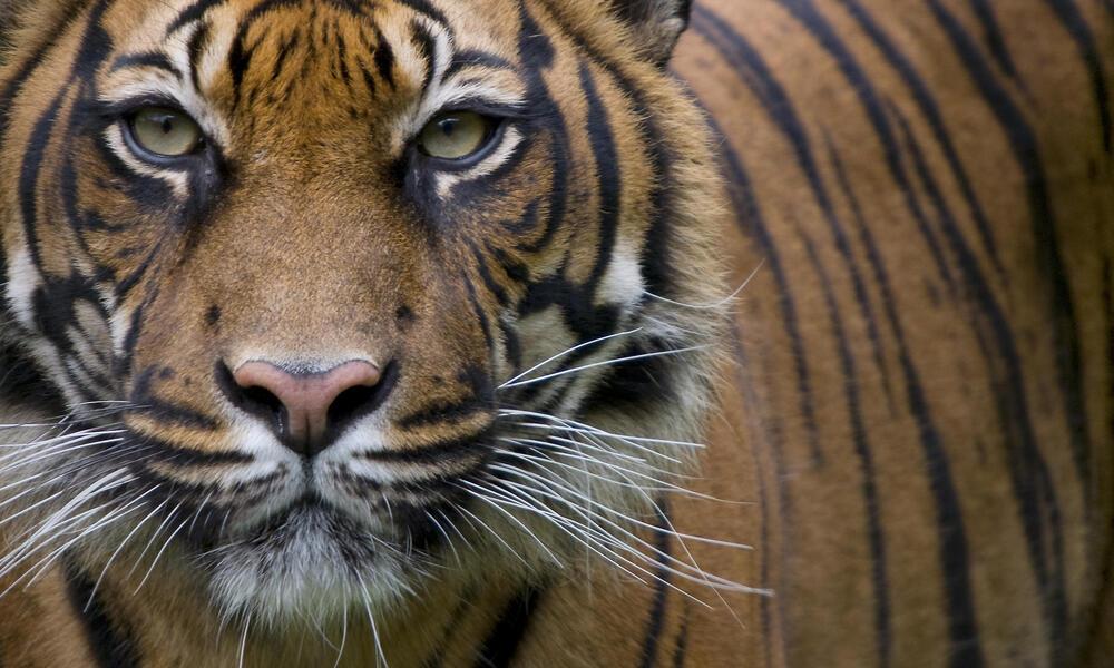 Close-up of a Sumatran Tiger