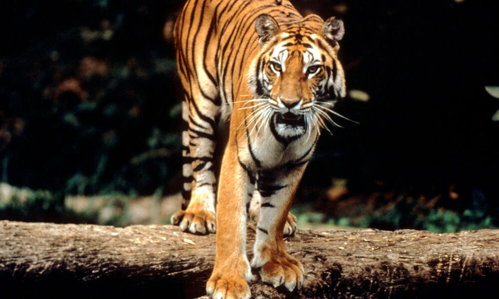 Tigers are Revered by Millions