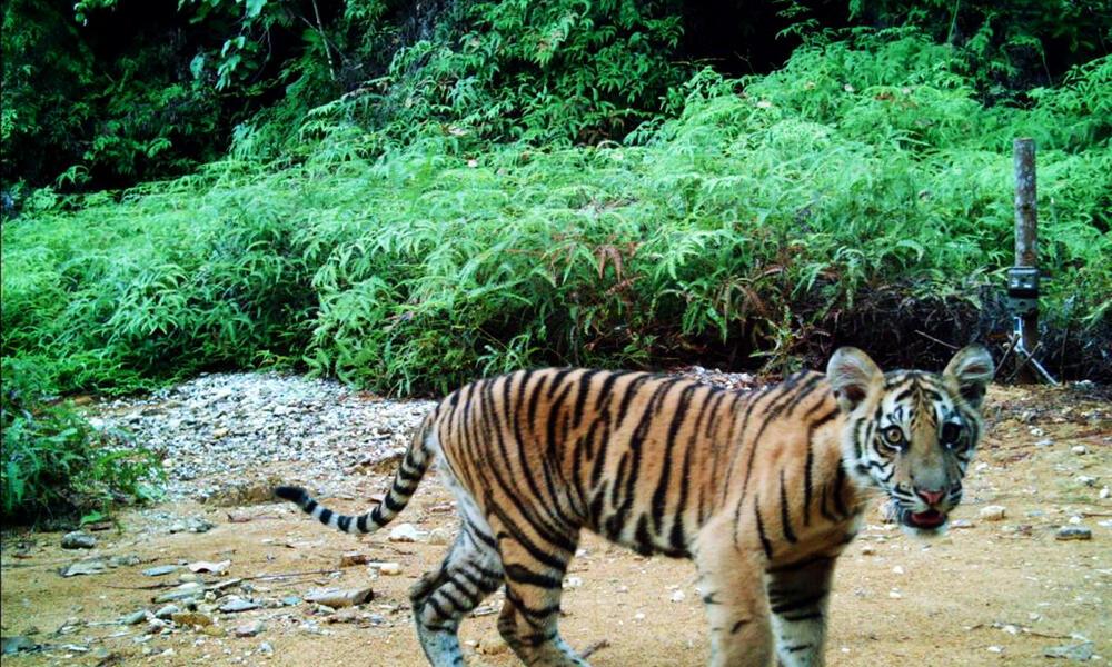 Camera trap image of Sumatran tiger cub, Riau, Indonesia