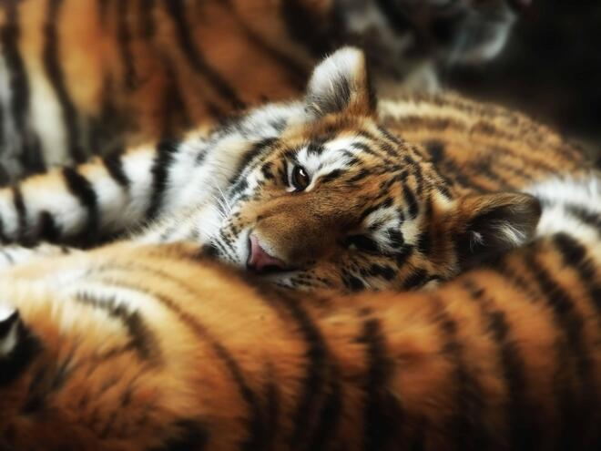 Tiger cub cuddling on its mother peers up to the camera.
