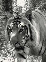 Tigers of the Transboundary Terai Arc Landscape Brochure