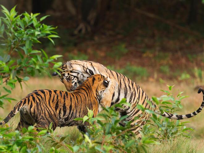 Tigers playing in Bandhavgarh national park