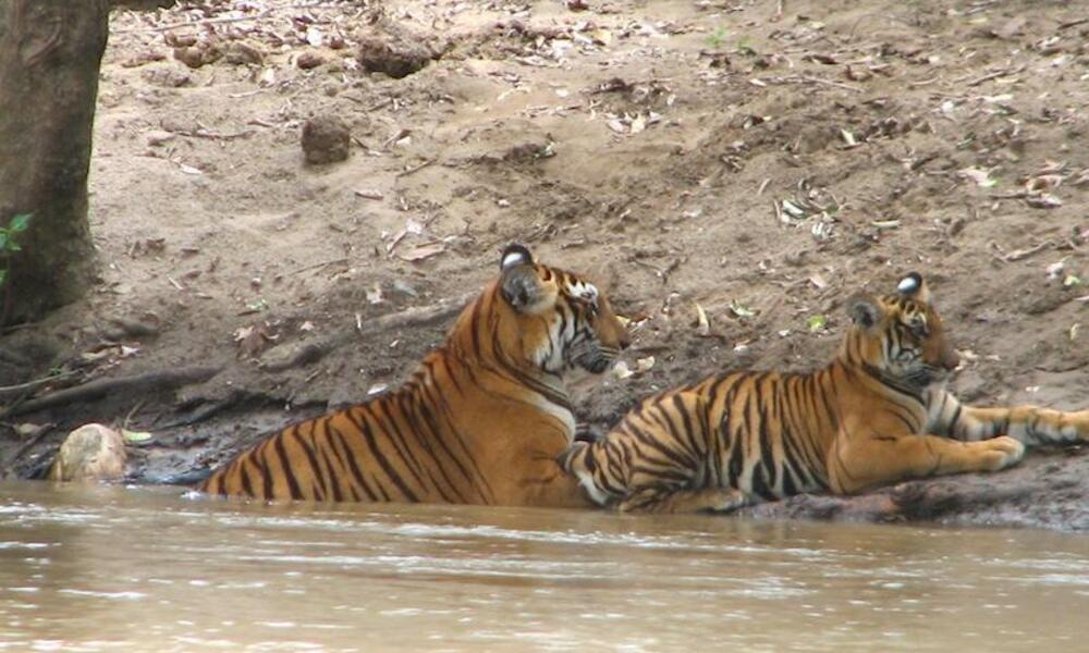 Tigress and cub in India