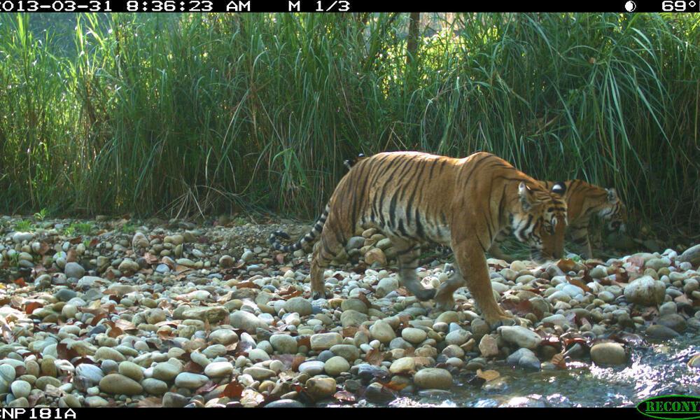 tigress and cubs camera trap