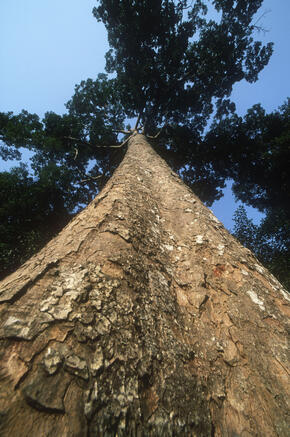 Timber Marginalized indigenous Local Communities