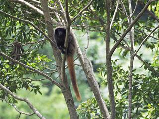 A titi-monkey sitting in a tree